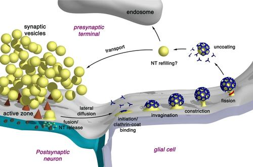 Model of clathrin-mediated endocytosis